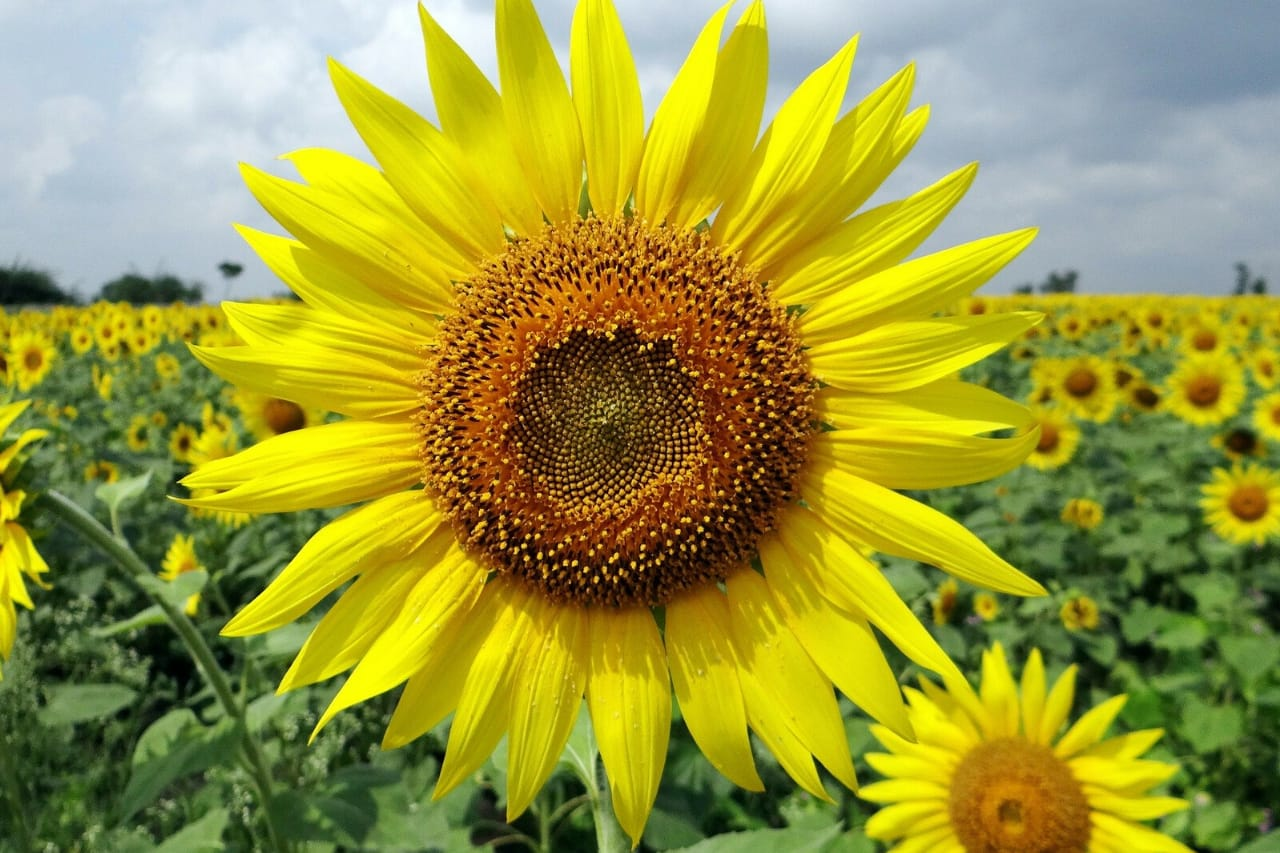 Sunflowers in field on a sunny day