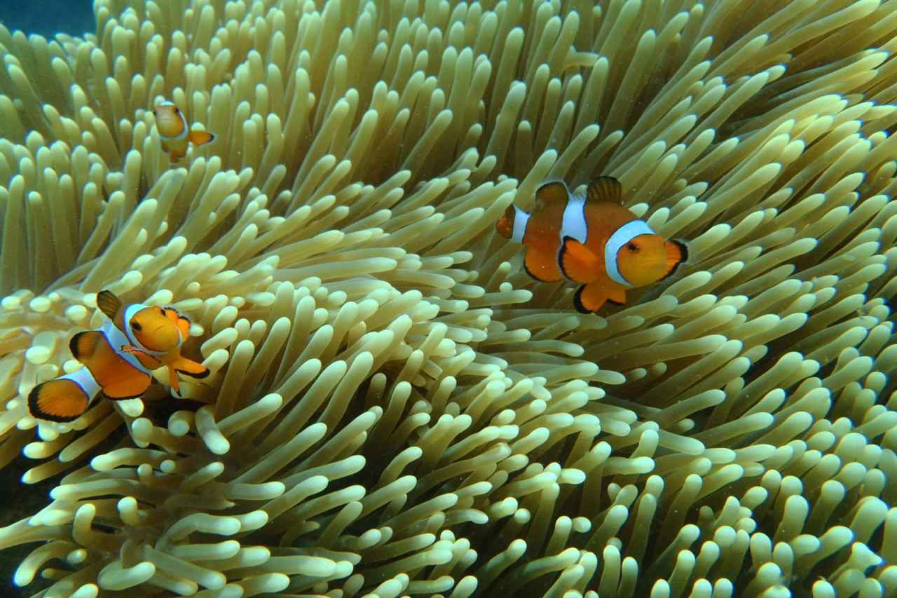 Couple of clownfish hiding among coral