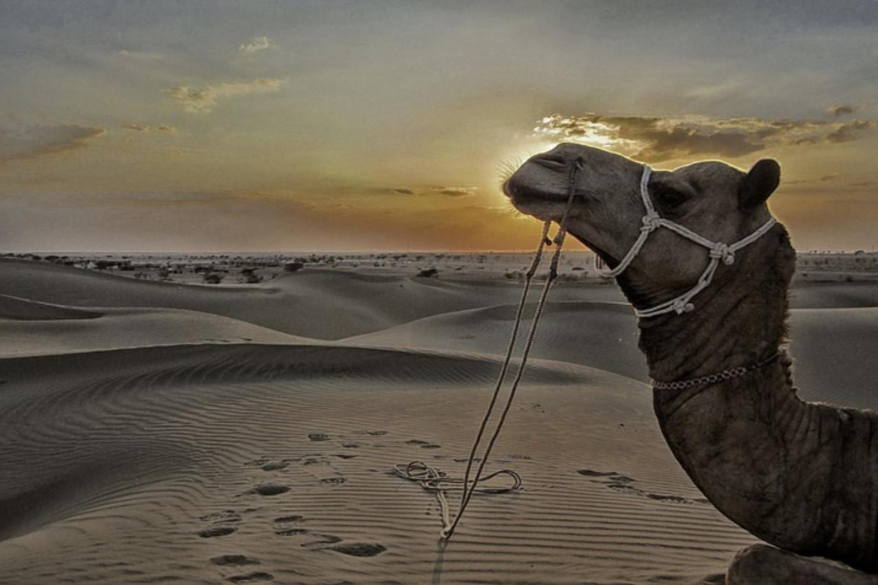 Camel resting on the sand dunes with the sun setting behind.
