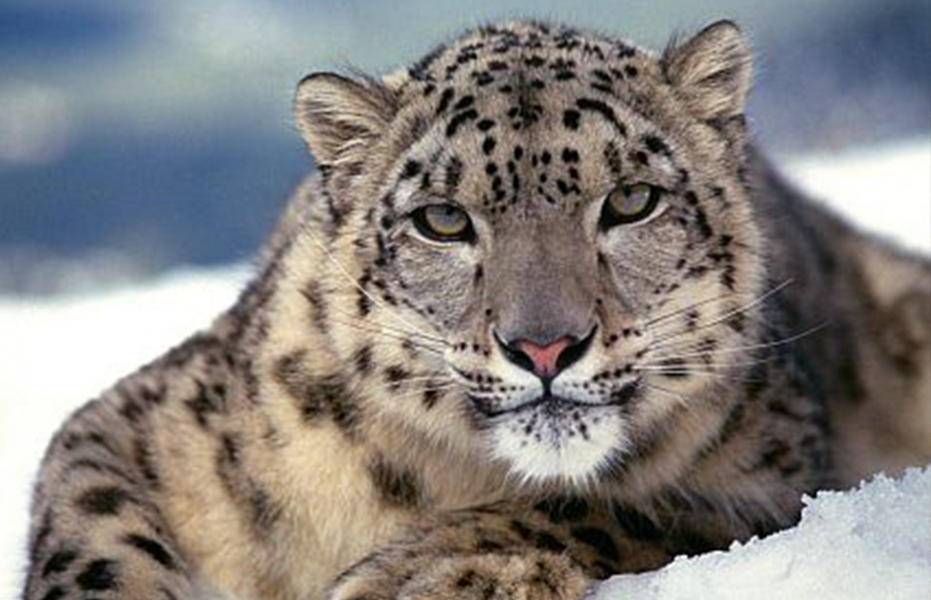 Spot the elusive snow leopard trek