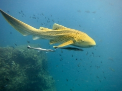 PADI Scuba Diver Course in Phuket