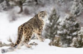 The Snow Leopard Quest