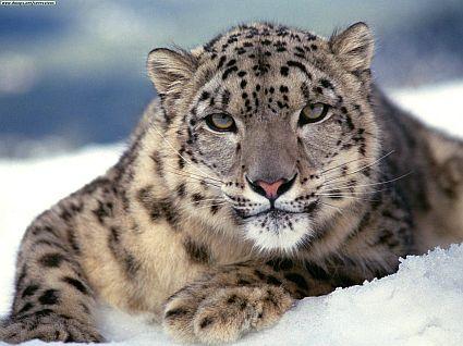 Trekking Snow Leopard Wildlife Leh Adventure