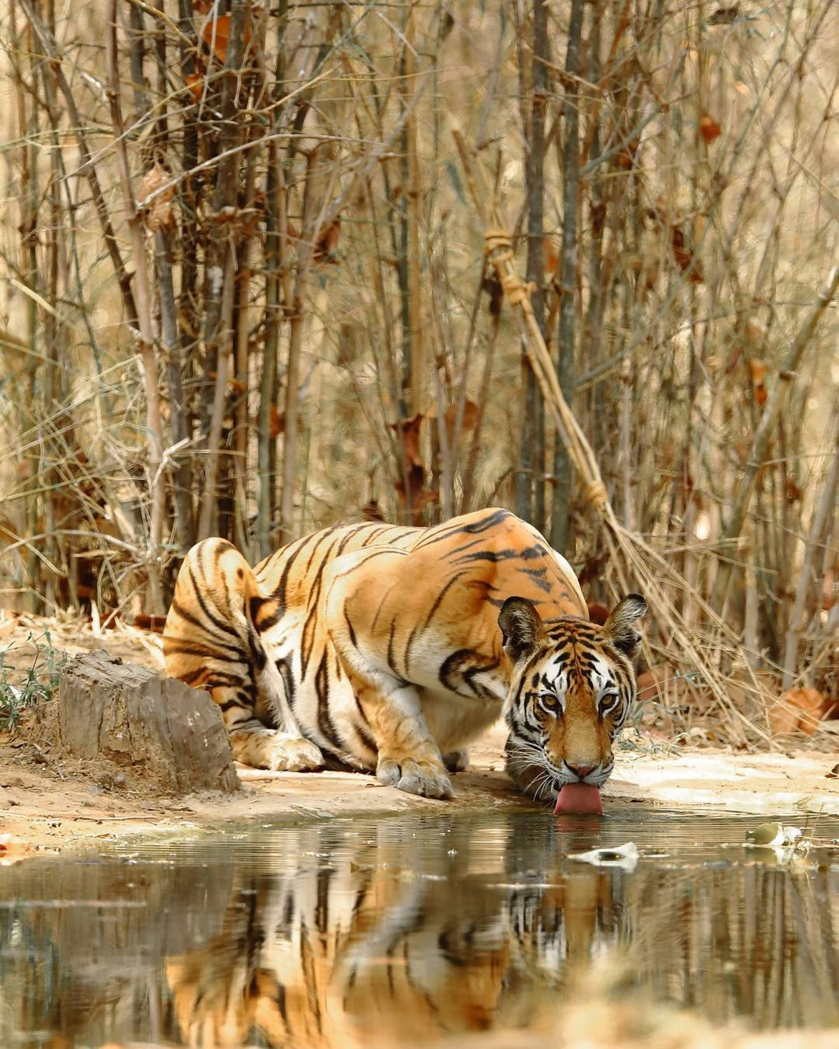Pench Safari Wildlife Madhya Pradesh Maharashtra Sanctuary The Great Next